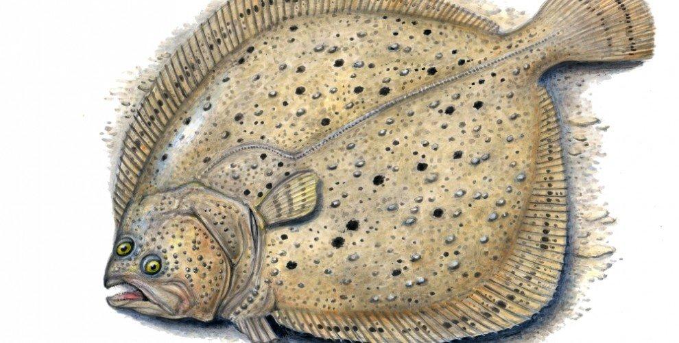 Семейство калканови риби