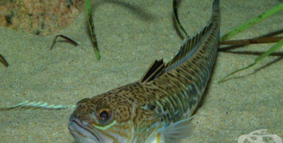 Опасни и невкусни риби, обитаващи Черно море