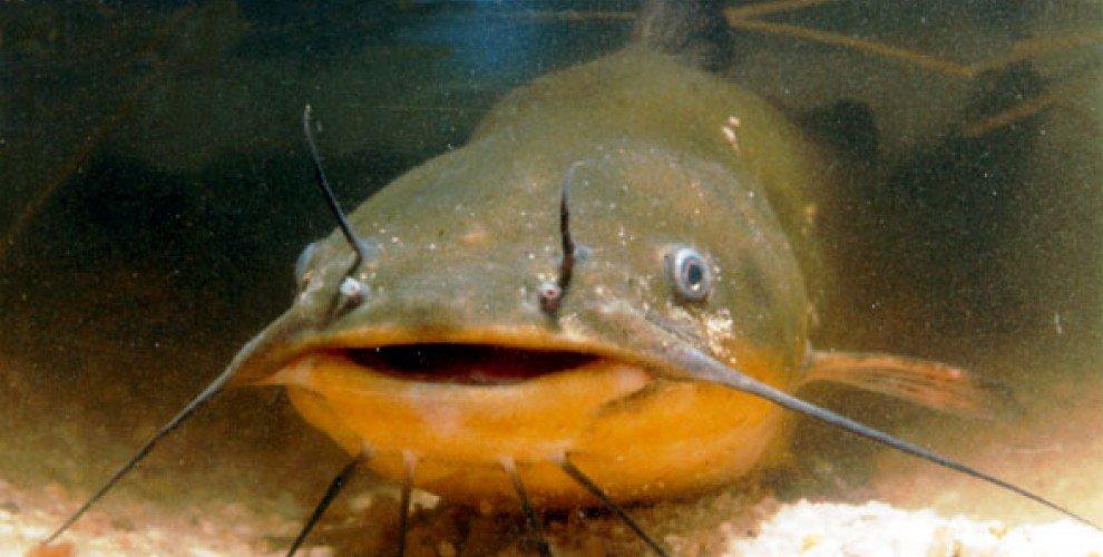 Риболов на сом