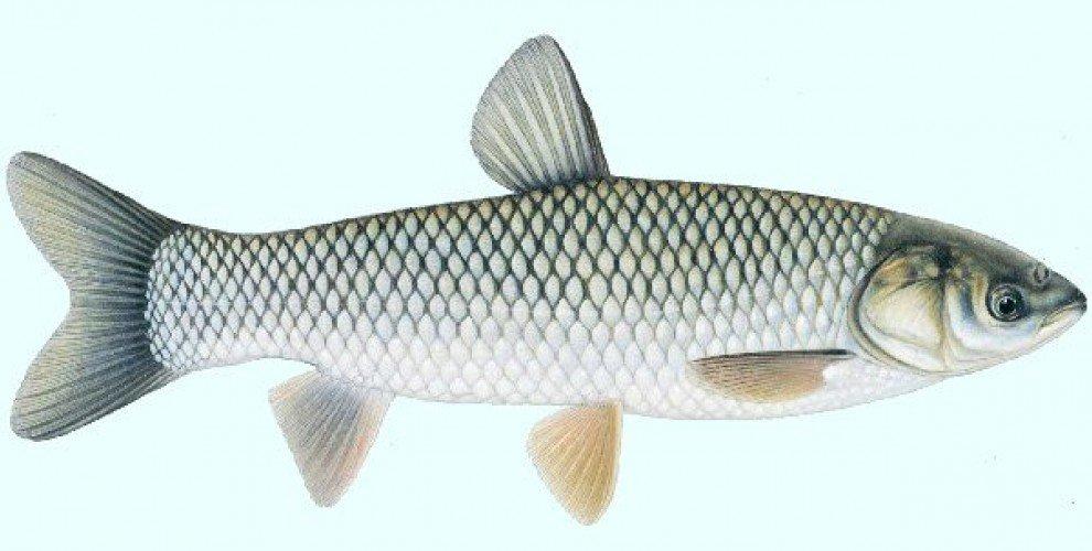 Риболов на бял АМУР