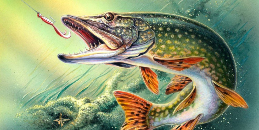 Разрешава се риболова на Щука и Распер