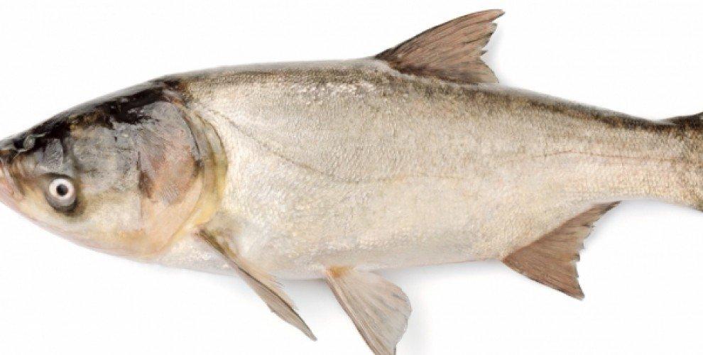 Риболов на бял толстолоб