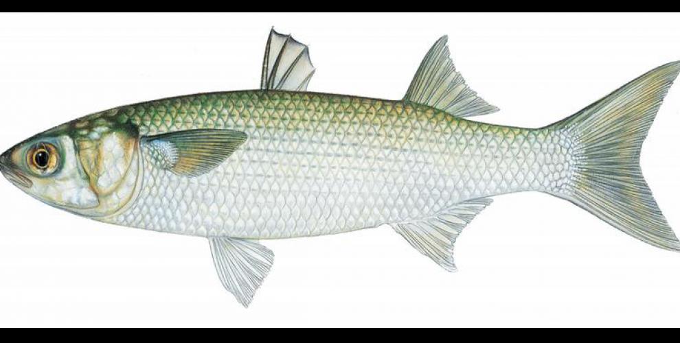 Морски кефалови риби - ИЛАРИЯ и МОРСКИ КЕФАЛ