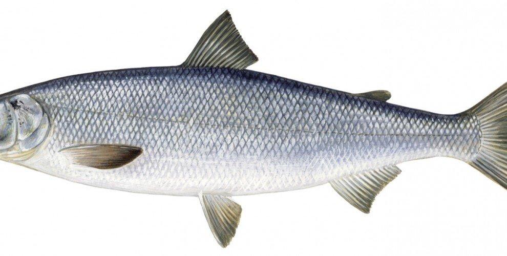 Риболов на СКОБАР – бойник, алай (Chondrostoma nasus )