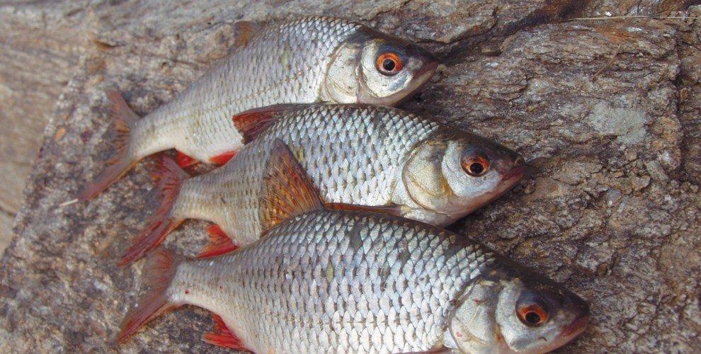 Риболов на бабушка - особености и характеристики