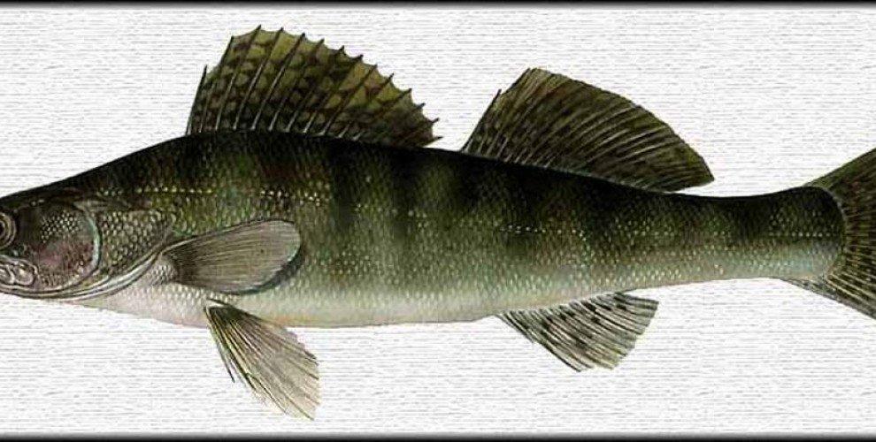 Пържена бяла риба със сос от магданоз