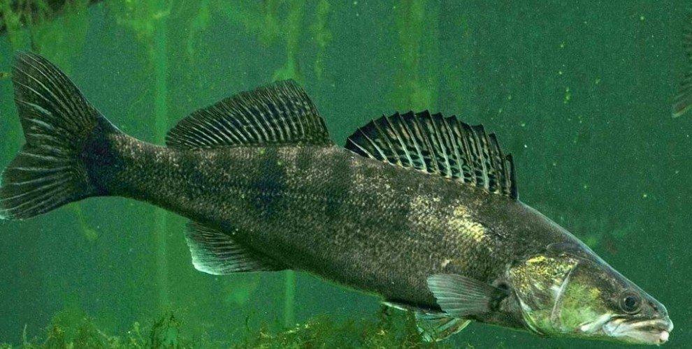 Риболов на бяла риба в течащи води